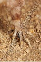 Muskrat-Ondatra zibethicus 0043