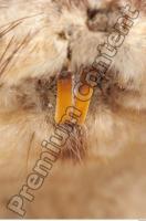 Muskrat-Ondatra zibethicus 0044