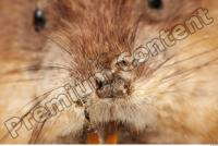 Muskrat-Ondatra zibethicus 0045