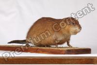 Muskrat-Ondatra zibethicus 0049