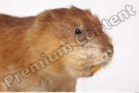 Muskrat-Ondatra zibethicus 0050