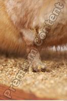 Muskrat-Ondatra zibethicus 0052