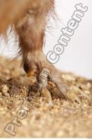 Muskrat-Ondatra zibethicus 0053