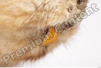 Muskrat-Ondatra zibethicus 0054