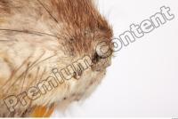 Muskrat-Ondatra zibethicus 0055
