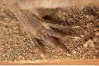 Muskrat-Ondatra zibethicus 0058