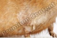 Muskrat-Ondatra zibethicus 0059