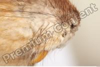 Muskrat-Ondatra zibethicus 0060