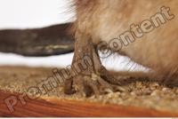 Muskrat-Ondatra zibethicus 0061
