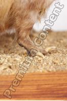 Muskrat-Ondatra zibethicus 0076