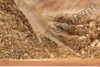 Muskrat-Ondatra zibethicus 0077