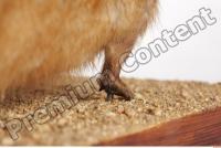 Muskrat-Ondatra zibethicus 0082