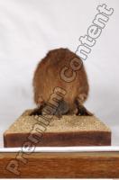 Muskrat-Ondatra zibethicus 0086