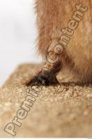 Muskrat-Ondatra zibethicus 0087