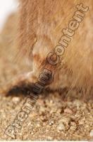 Muskrat-Ondatra zibethicus 0088