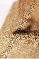 Muskrat-Ondatra zibethicus 0089