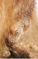 Muskrat-Ondatra zibethicus 0091