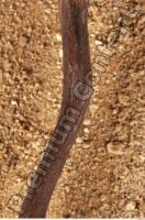 Muskrat-Ondatra zibethicus 0095