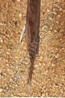 Muskrat-Ondatra zibethicus 0097
