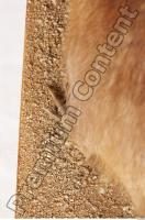 Muskrat-Ondatra zibethicus 0098