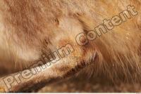 Muskrat-Ondatra zibethicus 0105