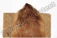 Muskrat-Ondatra zibethicus 0110