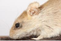 Mouse-Mus musculus 0016