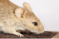 Mouse-Mus musculus 0020