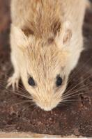 Mouse-Mus musculus 0021