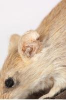 Mouse-Mus musculus 0023