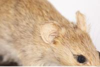 Mouse-Mus musculus 0027