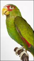 Amazon white-fronted - Amazona albifrons