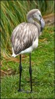 Gray Flamingo