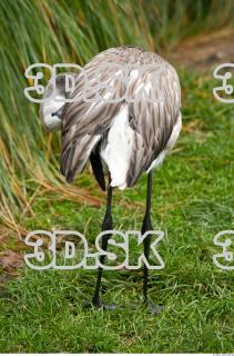 Body texture of gray flamingo 0004