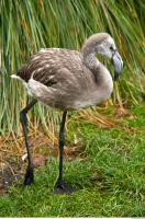 Body texture of gray flamingo 0005