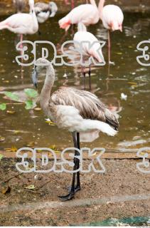 Body texture of gray flamingo 0021