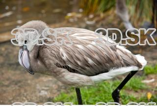 Body texture of gray flamingo 0032