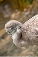 Head texture of gray flamingo 0003