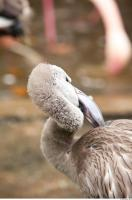 Head texture of gray flamingo 0013