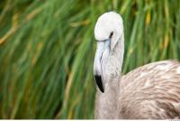 Head texture of gray flamingo 0014