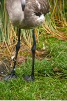 Leg texture of gray flamingo 0001
