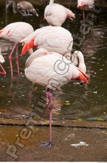 Body texture of pink flamingo 0002