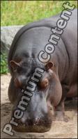 Hippo # 2