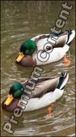 Duck drake
