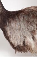Emus body photo reference 0010