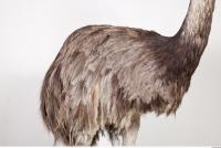 Emus body photo reference 0035