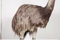 Emus body photo reference 0042