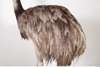 Emus body photo reference 0083