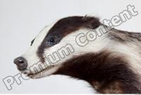Badger body photo reference 0007