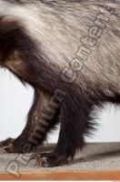 Badger body photo reference 0008